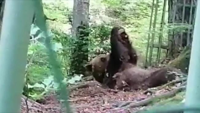 Ecco l'orso che si tiene in forma con il fitness