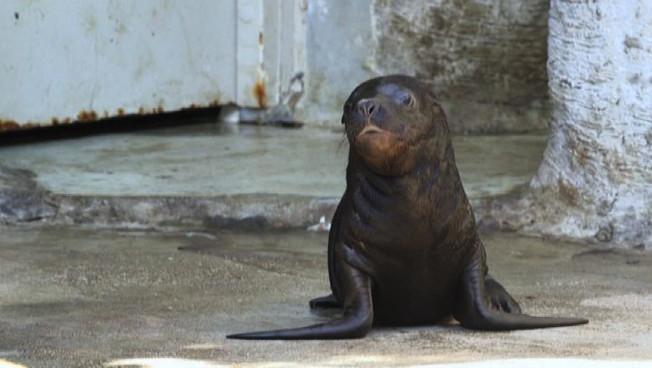 La tenera baby foca muove i suoi primi passi fuori dall'acqua dello zoo di Vienna