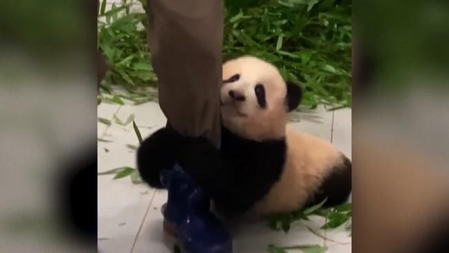 Le irresistibili immagini del panda Fu Bao col suo custode