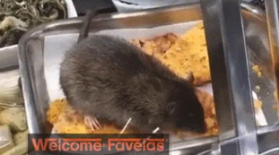 Giant pantigana eating at the supermarket counter.  The video that baffles Italy