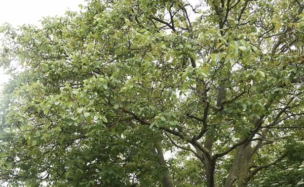 """Regno Unito, questo albero? """"Non possiamo tagliarlo"""". Ma sta uccidendo una bimba di 6 anni: lo scandalo scuote il Paese"""