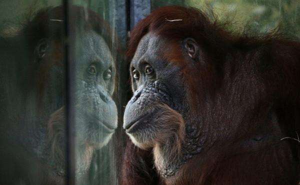 """L'orango trasformata in una prostituta: """"Rasata e truccata"""". Orrore puro: costretta ad avere rapporti"""